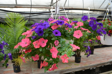 Hanging Outdoor Annuals