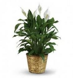 Beautiful Peace Lily Plants In Waterford Michigan Jacobsen's Flowers