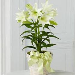 Easter Lily Plant - SOLD OUT* In Waterford Michigan Jacobsen's Flowers