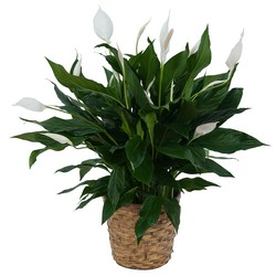 Peace Lily Plant in Basket In Waterford Michigan Jacobsen's Flowers