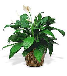 Send flowers to waterford bloomfield hills and lake orionmi with a medium spathiphyllum plant in waterford michigan jacobsens flowers mightylinksfo